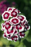 Sweet Williams (Dianthus Sp.) Photo by Dr. Keith Wheeler