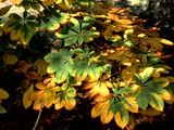 Horse Chestnut Leaves Photographic Print by  Dr. Keith