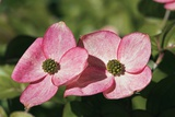 Dogwood (Cornus Sp.) Prints by Dr. Keith Wheeler