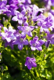Bellflower (Campanula) Photographic Print by Dr. Keith Wheeler