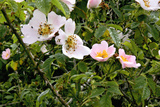 Wild Rose (Rosa Canina) Posters by Dr. Keith Wheeler