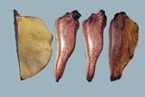 Beefsteak Fungus (Fistulina Hepatica) Reprodukcja zdjęcia autor Dr. Keith Wheeler