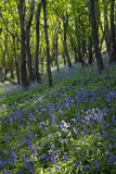 Bluebell Wood Photographic Print by Dr. Keith Wheeler