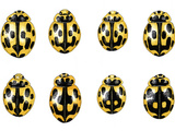 Fourteen-spot Ladybird Colouration Photographic Print by Dr. Keith Wheeler