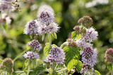 Water Mint (Mentha Aquatica) Posters by Dr. Keith Wheeler