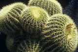 Ferocactus Cactus Photo by Dirk Wiersma