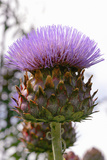 Cardoon (Cynara Cardunculus) Photo by Dr. Keith Wheeler