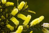 Lemon Bottlebrush (Callistemon Pallidus) Posters by Dr. Keith Wheeler
