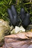 Dead Man's Fingers (Xylaria Polymorpha) Reprodukcja zdjęcia autor Dr. Keith Wheeler