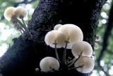 Porcelain Mushrooms Reprodukcja zdjęcia autor Dr. Keith Wheeler