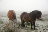 Exmoor Ponies Photographic Print by Dr. Keith Wheeler