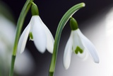 Snowdrop (Galanthus Nivalis) Prints by Dr. Keith Wheeler