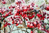 Frosted Viburnum Fruit Prints by Dr. Keith Wheeler