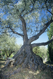 Olive Tree Photographic Print by Dirk Wiersma