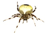 Marbled Orb-weaver Spider Photographic Print by Dr. Keith Wheeler