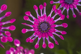Spoon Daisies (Osteospermum 'Whirligig') Posters by Dr. Keith Wheeler
