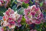 Hydrangea Sp Posters by Dr. Keith Wheeler