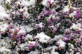 Heather Flowers Covered In Snow Photographic Print by Dr. Keith Wheeler