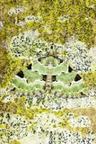Green Carpet Moth Prints by Dr. Keith Wheeler