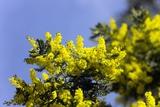 Mimosa (Acacia Dealbata Subalpina) Papier Photo par Dr. Keith Wheeler