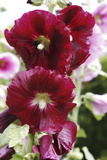 Hollyhock (Alcea Rosea) Photographic Print by Dr. Keith Wheeler