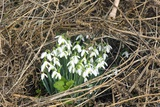 Snowdrop (Galanthus Nivalis) Posters by Dr. Keith Wheeler