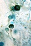 Brown Mould Fungus, Light Micrograph Reprodukcja zdjęcia autor Dr. Keith Wheeler
