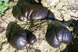 Cramp Balls Fungi Reprodukcja zdjęcia autor Dr. Keith Wheeler