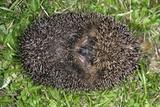 European Hedgehog Prints by Dr. Keith Wheeler