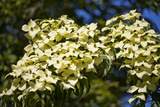 Dogwood (Cornus 'Norman Hadden') Photographic Print by Dr. Keith Wheeler