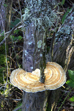 Daedaleopsis Confragosa Fungus Photographic Print by Dr. Keith Wheeler