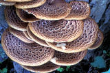 Dryad's Saddle Fungi Reprodukcja zdjęcia autor Dr. Keith Wheeler