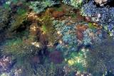 Algues Affiche par Dr. Keith Wheeler