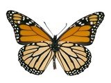 Monarch Butterfly Photographic Print by Dr. Keith Wheeler