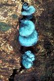Blue Stain Fungi Reprodukcja zdjęcia autor Dr. Keith Wheeler