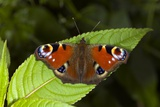 Peacock Butterfly Photographic Print by Dr. Keith Wheeler