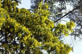 Mimosa (Acacia Dealbata Subalpina) Posters by Dr. Keith Wheeler