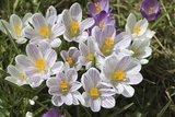 Crocus Sp Photographic Print by Dr. Keith Wheeler