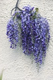 Wisteria Sp Photographic Print by Dr. Keith Wheeler