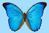 Blue Morpho Butterfly Photographic Print by Dr. Keith Wheeler