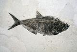 Diplomistus Fish Fossil Photographie par Dirk Wiersma