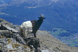 Valais Blackneck Goat Photographic Print by Dirk Wiersma