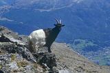 Valais Blackneck Goat Prints by Dirk Wiersma