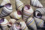 Freshwater Snail Shells Print by Dirk Wiersma