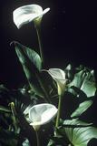 Arum Lily Flowers Print by Dirk Wiersma