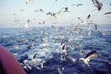 Seagulls Prints by Dirk Wiersma
