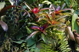 Bromeliad Plant Posters by Dr. Keith Wheeler