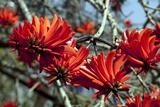 Kaffir Tree (Erythrina Kaffir) Flowers Poster by Dirk Wiersma
