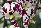 Orchid Flowers Photographic Print by Dirk Wiersma