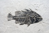 Priscacara Fish Fossil Photographie par Dirk Wiersma